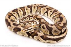 Super Pastel dh ghost clown female breeder ball python for sale