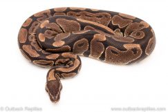 dh lavender pied dreamsicle female breeder ball python for sale