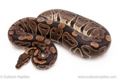 Double het albino clown female breeder ball python for sale