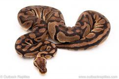Pastel het clown female breeder ball python for sale