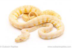 albino carpet python for sale