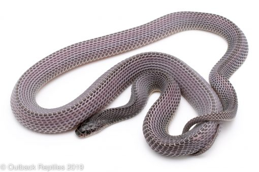 African File Snakes for sale
