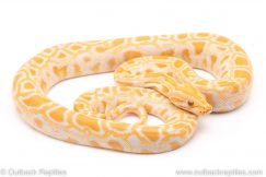 Albino Burmese Python for sale
