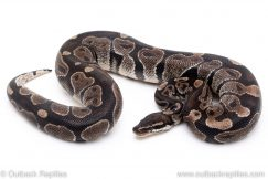 Black Axanthic ball python reptiles for sale