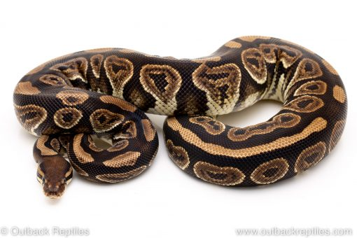 Black Pastel poss het Pied ball python for sale