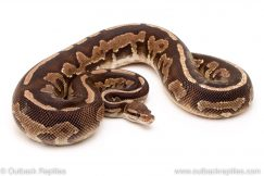 Black pastel Fire ball python for sale