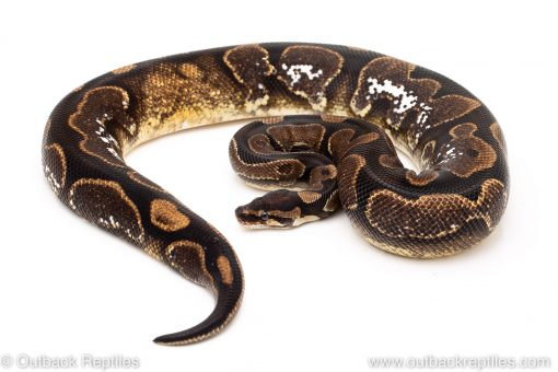 Calico ball python for sale