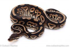 Cinnamon het Clown ball python for sale