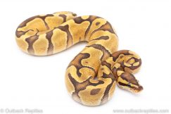 Citron Fire Enchi Yellowbelly ball python for sale