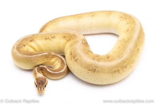 Cypress Black pewter Lesser ball python for sale