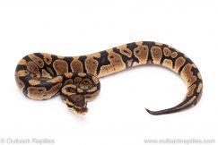 Het Albino Clown ball pythons for sale