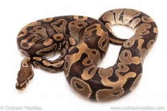 DH albino pied ball python reptiles for sale