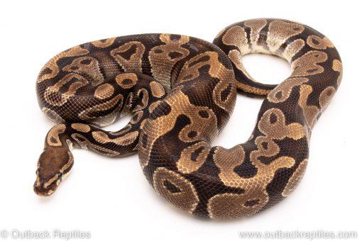 DH albino pied ball python reptiles for sale