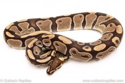 DH toffee pied ball python reptiles for sale