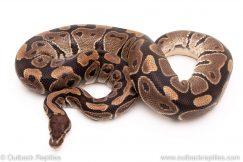 DH Vpi axanthic lavender albino ball python reptiles for sale