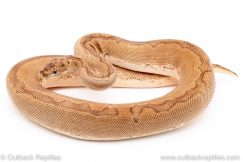 Desert Clown ball python reptiles for sale
