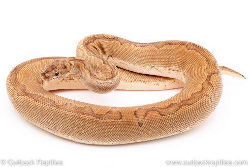 Desert Clown ball python reptiles for sale