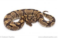 Enchi Mahogany ball python for sale
