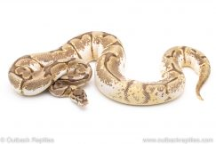Enchi bumblebee het pied ball python for sale