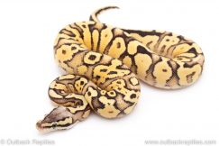 Firefly Yellowbelly ball python for sale