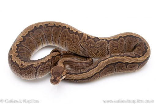 GHI Pinstripe ball python for sale