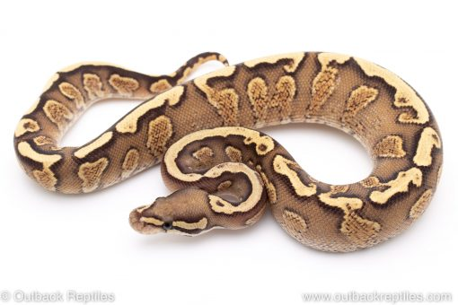 GHI Vanilla Yellowbelly ball python for sale