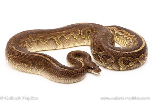 Gargoyle ball python for sale