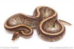 Jigsaw ball python for sale