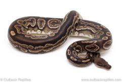 Lace Black Pastel ball python for sale reptile for sale