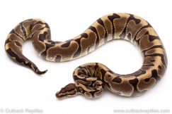 Lace Hidden Gene Woma ball python for sale reptile for sale