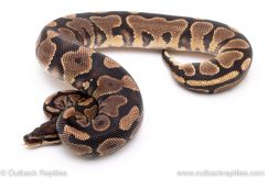 Yellowbelly Lace ball python for sale reptile for sale