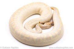 Leopard Ivory ball python for sale reptile for sale