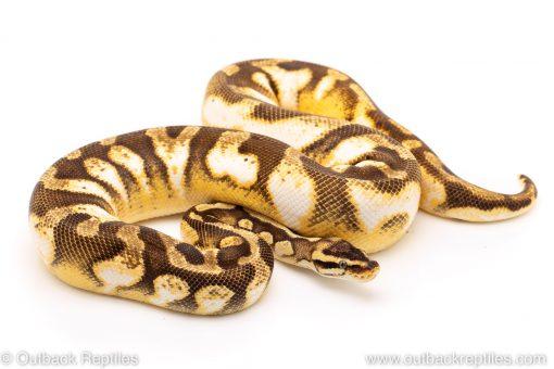 Pastel Enchi Calico ball python for sale
