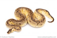 Pastel Enchi Clown ball python for sale