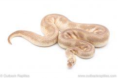 Pastel Lesser Clown adult breeder ball python for sale