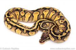 Pastel Yellowbelly Red Stripe ball python for sale
