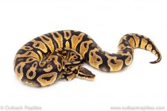 Pastel het Black Axanthic ball python reptiles for sale