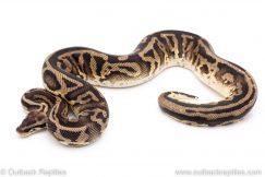 Pastel leopard het pied ball python for sale