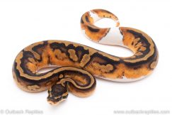 Piebald Pied ball python for sale