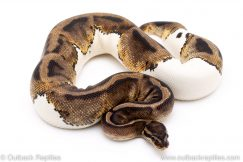Pied het albino ball python for sale reptile for sale