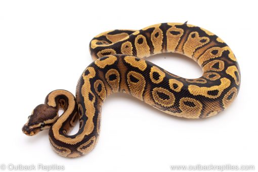 Red Stripe Yellowbelly ball python for sale