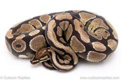 Spark ball python for sale