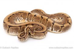 Spider ball python for sale reptile for sale