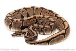 Spotnose ball python for sale