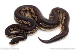 Super Blackhead ball python for sale