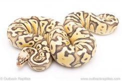 Super Pastel het CLown ball python for sale reptile for sale