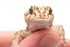 Tarentola Mauritania geckos for sale