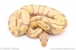 Toffee ball pythons for sale