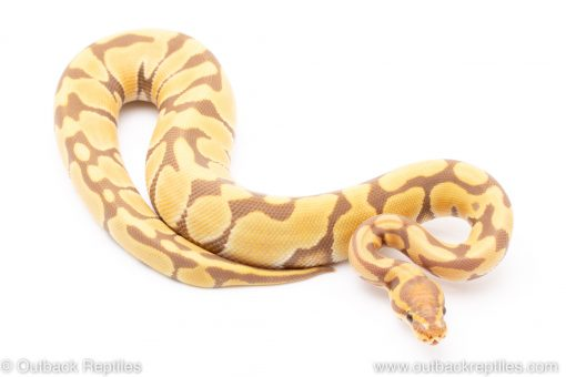 Toffee poss het vpi axanthic ball python for sale reptile for sale