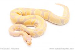 Toffino Het pied ball python for sale reptile for sale